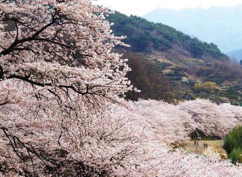 hwagae cherry blossom