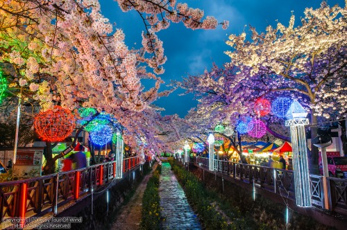 jinhae festival 2