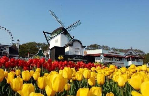 Taean Tulip festival 3